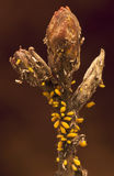 Oleander aphids attacking a bud Royalty Free Stock Photo