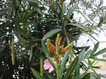 Oleander aphids in oleander plant Royalty Free Stock Photography