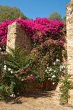 Oleander auf Festungswand Stockbilder