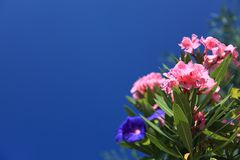 Oleander, Background, Beautiful Stock Photography