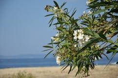 Oleander on the Beach Royalty Free Stock Photos
