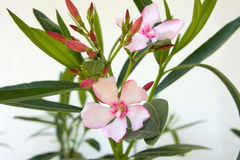Oleander Royalty Free Stock Photo