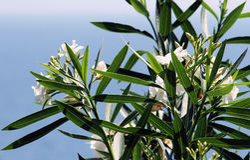 Oleander bianco Fotografie Stock