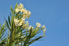 Oleander bianco Immagini Stock Libere da Diritti