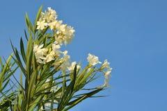 Oleander blanco Imágenes de archivo libres de regalías