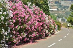 Oleander blossoming trees along the bike path Stock Photos
