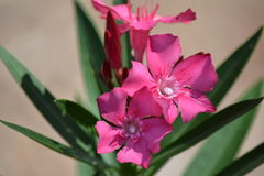 Oleander-Blumen-Blüte growimg Lizenzfreies Stockbild