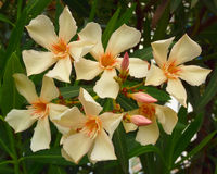 Pale white oleander bouquet closeup Stock Photos