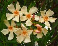 Pale white oleander bouquet closeup Stock Photos
