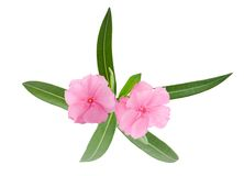Oleander branch Royalty Free Stock Photography