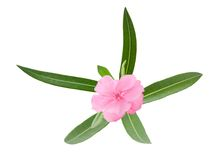 Oleander branch. With leaves isolated on white Stock Photo
