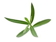 Oleander branch. With leaves isolated on white Royalty Free Stock Photo