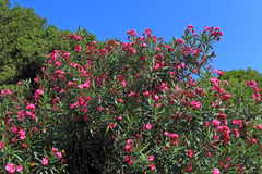 Oleander. Branches and plant flowers against the blue sky Royalty Free Stock Photo