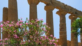 Oleander bush and column Temple of Juno in Sicily Royalty Free Stock Image