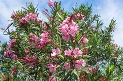 Oleander bush. Pink oleander Nerium flowers at springtime Stock Photography