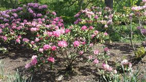 Oleander bushes in Illinois stock image