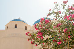 Oleander for the church in Perissa. Oleander for the church in Perissa on the island of Santorini in Greece Stock Image