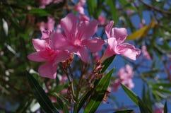 Oleander. Close up of oleander flowers, taken in mediterranean area. ( Nerium oleander, Apocynaceae Stock Image
