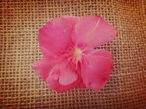 Oleander flower Royalty Free Stock Images