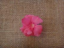 Oleander flower Stock Photography