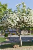 Oleander di bianco dell'Arizona Fotografia Stock Libera da Diritti