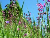 oleander för Pil-ört ängChamerion Angustifolium mjölkört Arkivfoton
