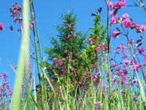 oleander för Pil-ört ängChamerion Angustifolium mjölkört Arkivbilder