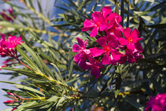 Oleander flower. Oleander tree with purple flowers Stock Image