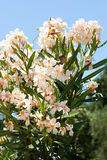 Oleander flower Stock Photo