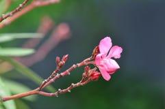 Nerium oleander flower buds. Oleander flower buds with blurry background Stock Photos