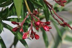 Nerium oleander flower buds. Oleander flower buds with blurry background Royalty Free Stock Images