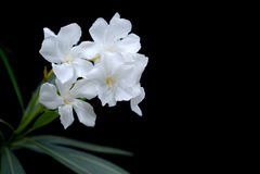 Oleander flower Royalty Free Stock Photos