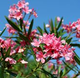 Oleander flower flora typical of the Mediterranean Royalty Free Stock Photography