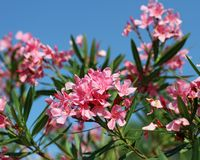 Oleander flower flora typical of the Mediterranean in southern E Stock Image