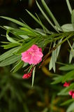 The oleander flower in full bloom in autumn. Stock Images