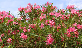 Oleander flower in the garden and the blue sky Royalty Free Stock Photo