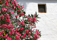 Oleander flower in the garden of Mediterranean house Stock Image