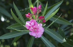 Oleander flower with leaves. Oleander flower with green leaves on the background Stock Images