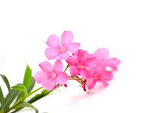 Oleander flower Royalty Free Stock Images
