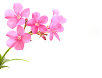 Oleander flower Royalty Free Stock Image