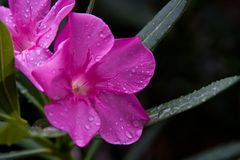 Oleander Flower Toxic Beauty royalty free stock image