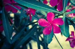 Oleander flower Stock Photos