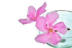 Oleander flower on white background Stock Image