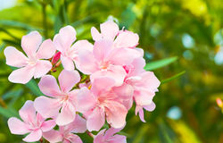 Oleander flowers Royalty Free Stock Photo