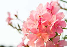 Oleander flowers. Bloom in the morning in good weather Stock Photo