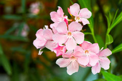 Oleander flowers. Bloom in the morning in good weather Stock Images