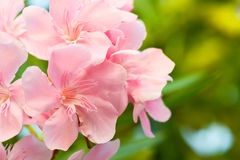 Oleander flowers. Bloom in the morning in good weather Royalty Free Stock Photography