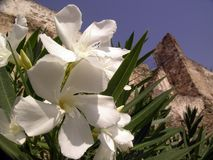 Oleander flowers. (Nerium oleander) and Thessaloniki city in background stock photo