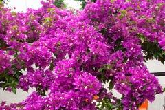 Oleander Flowers back Royalty Free Stock Images