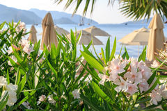 Oleander flowers with beach and mountains. Background Royalty Free Stock Image